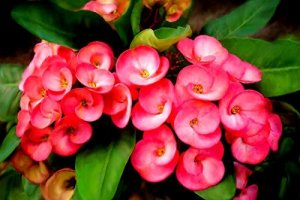 7 BEST UNDER THE ROOF INDOOR PLANTS THAT SURVIVE IN LIMITED LIGHT Crown of thorns.7
